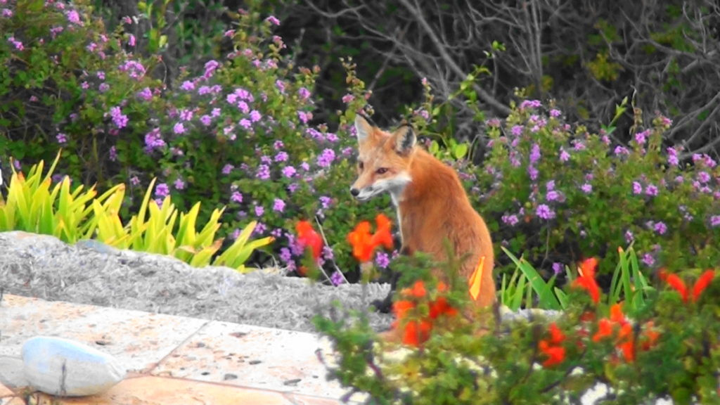 <b>Red Fox Lamont poses for a BCHA Close-up</b>