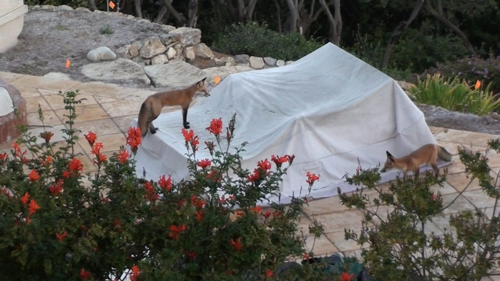 <b>Red Foxes Lamont & Fred Playing Tag above Bluff Cove Trailhead</b>