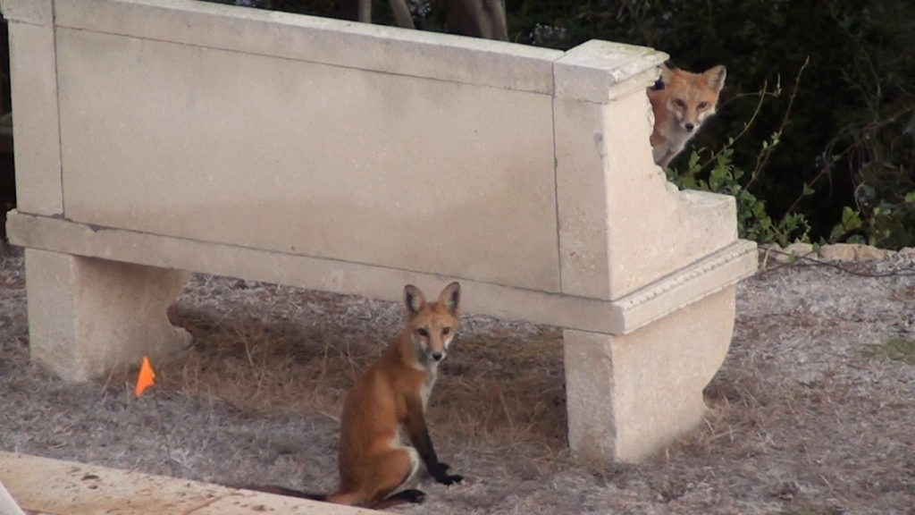 <b>Red foxes on the alert above Bluff Cove trailhead</b>